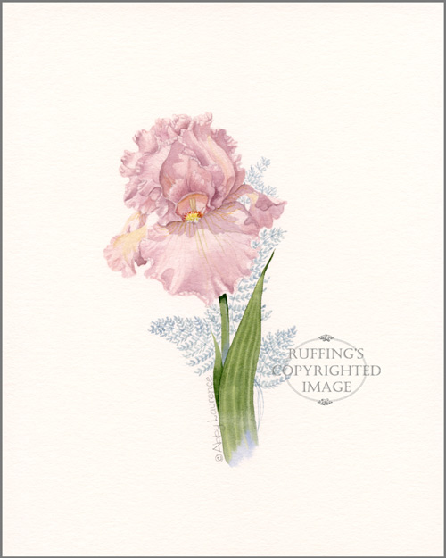 Pink Iris Original Watercolor Floral Painting by Abby Laurence