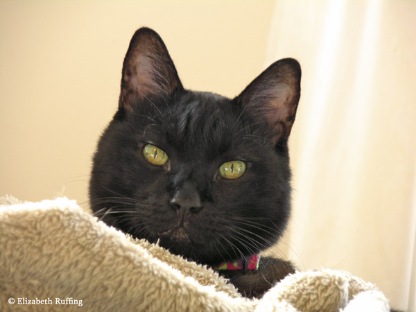 Zoomie, black kitty cat looking over a blanket by Elizabeth Ruffing