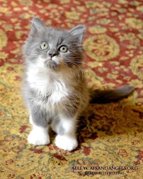 Sasquatch long-haired gray-and-white kitten, photo by Elizabeth Ruffing