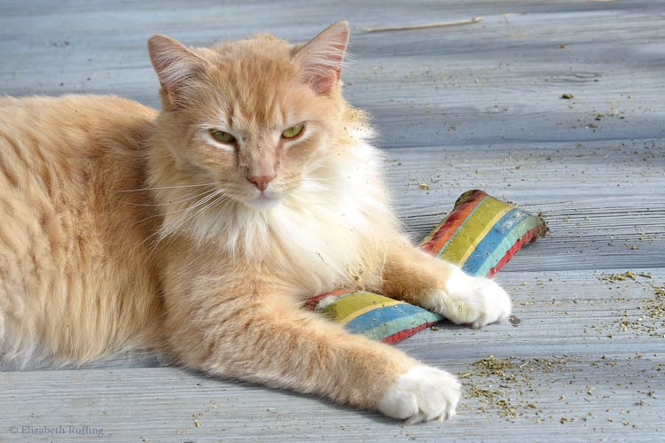 Santana, orange-and-white cat with his paws on a striped catnip toy kicker, Elizabeth Ruffing