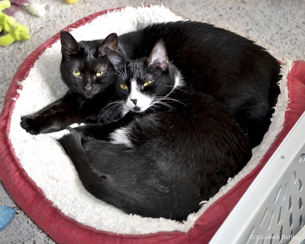 Bindi and Jojo, black mama cat curled up in a cat bed with her daughter Jojo, black-and-white tuxedo cat, Elizabeth Ruffing