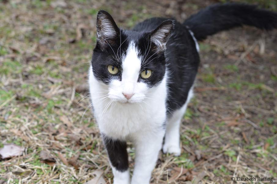 Gumbo, black and white cat going for a walking in the woods by Elizabeth Ruffing