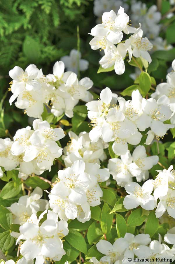 Mock Orange blossoms by Elizabeth Ruffing