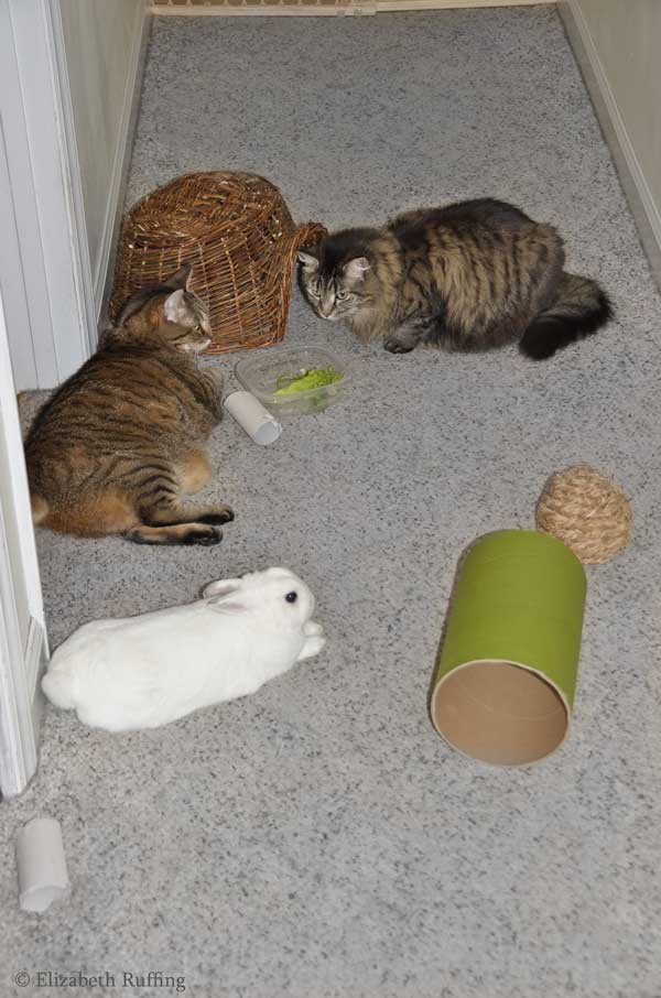 Oliver Bunny, stretched out in hallway with tabby cats, Elizabeth Ruffing