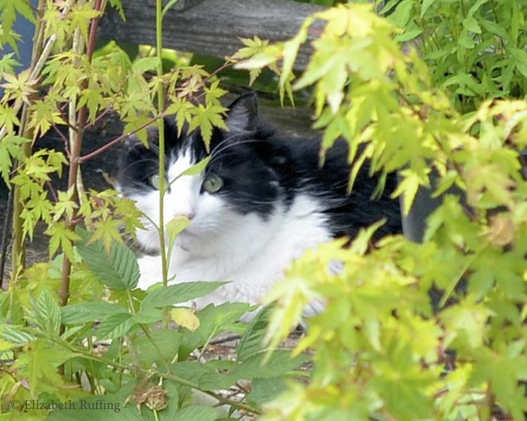 Trouble, black and white cat, hiding behind plants, Elizabeth Ruffing
