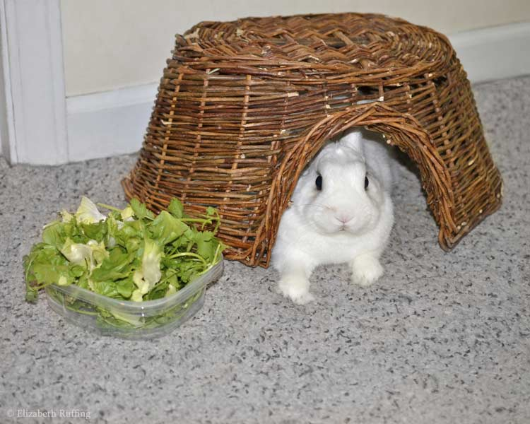 Oliver Bunny, sitting in his Twigloo, with his salad, Elizabeth Ruffing