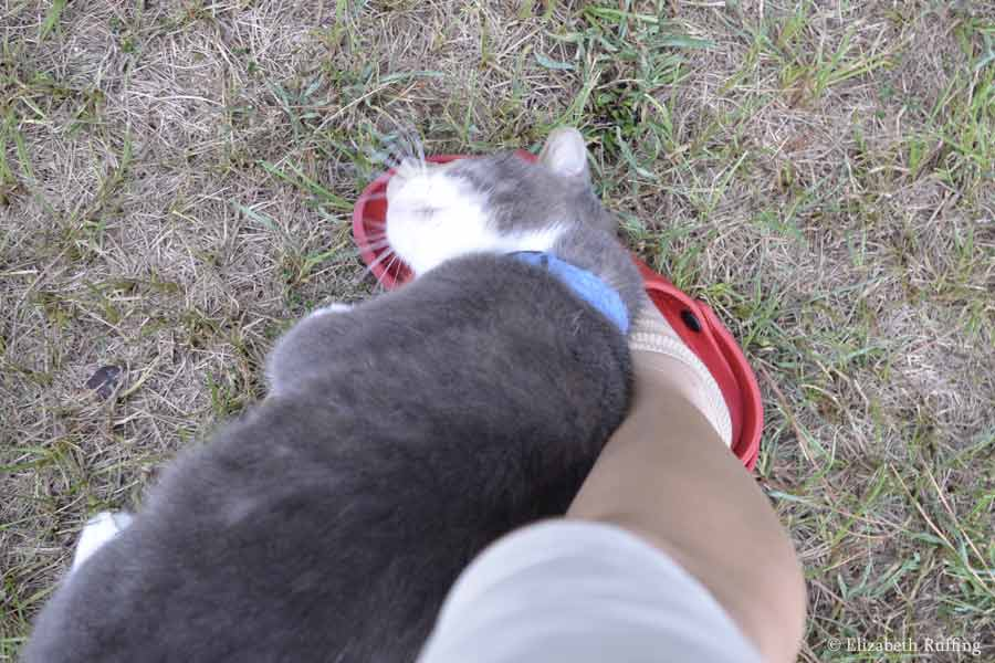 Scooter gray and white cat, rubbing my leg by Elizabeth Ruffing