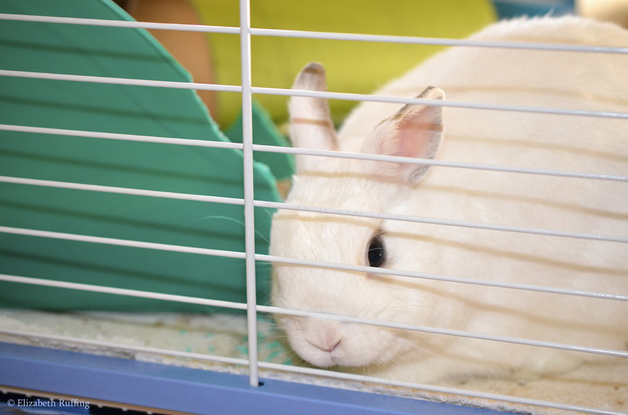 Oliver Bunny with his lips on his cage bar, asking for a banana slice, Elizabeth Ruffing