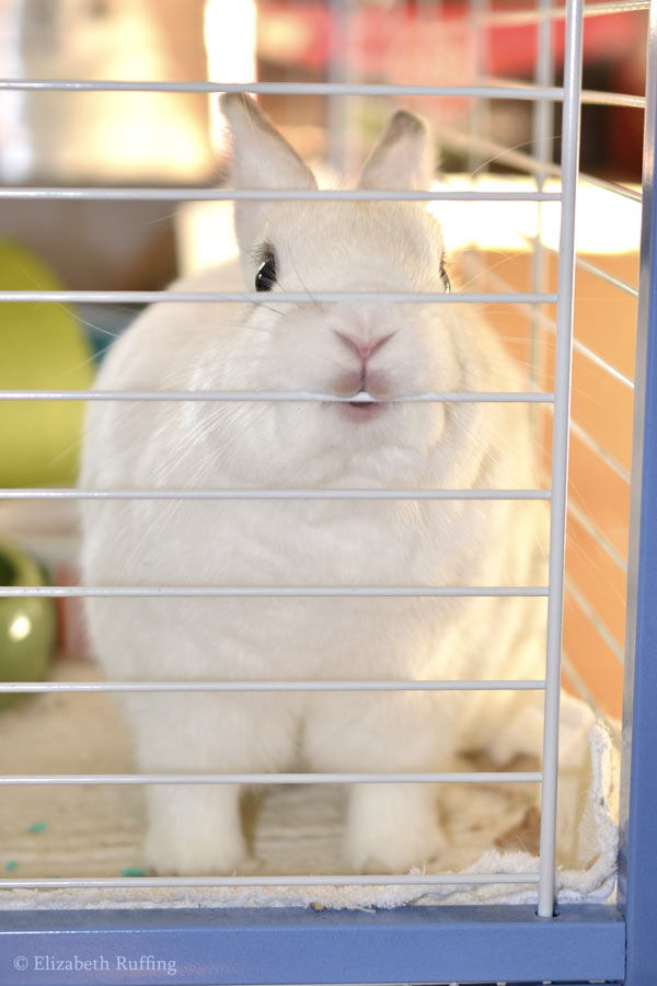 Oliver Bunny with his lips on his cage bar, asking for bananas, Elizabeth Ruffing