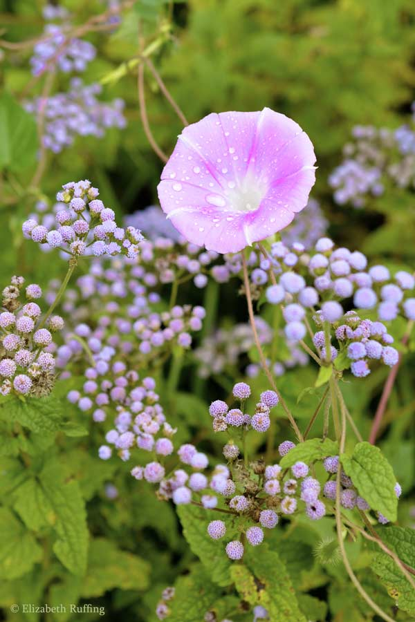 Purple ageratum and pink morning glory, by Elizabeth Ruffing