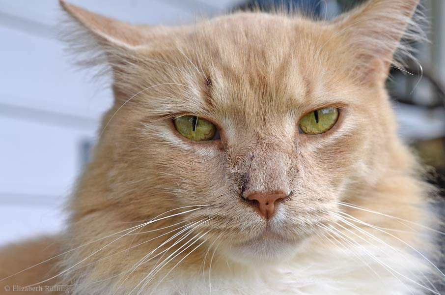 Santana, orange cat, scratched nose by Elizabeth Ruffing