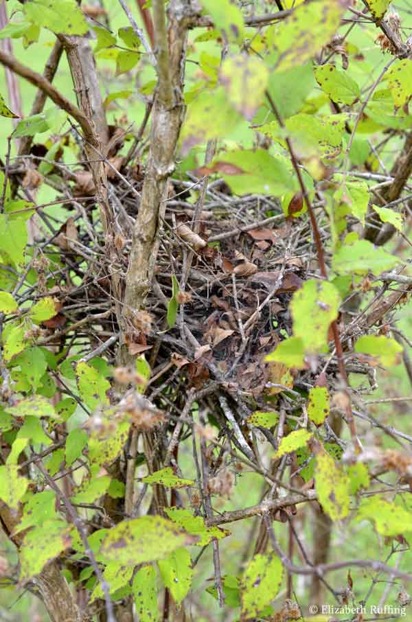 Abandoned mockingbird nest, by Elizabeth Ruffing