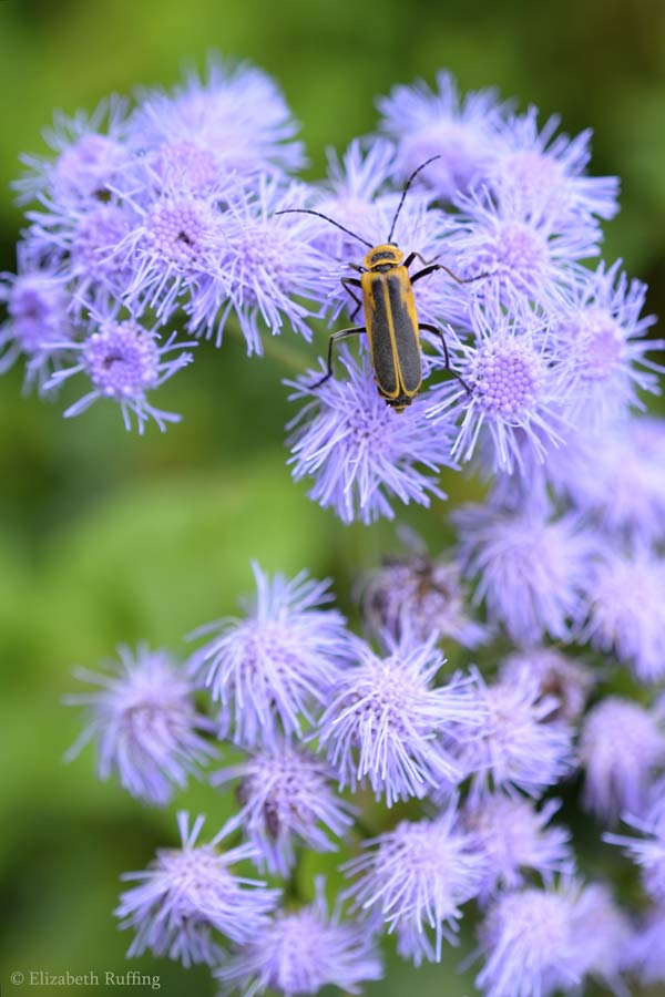 Beetle on ageratum, by Elizabeth Ruffing