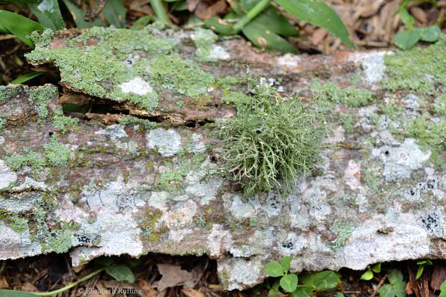 Moss on tree bark, by Elizabeth Ruffing