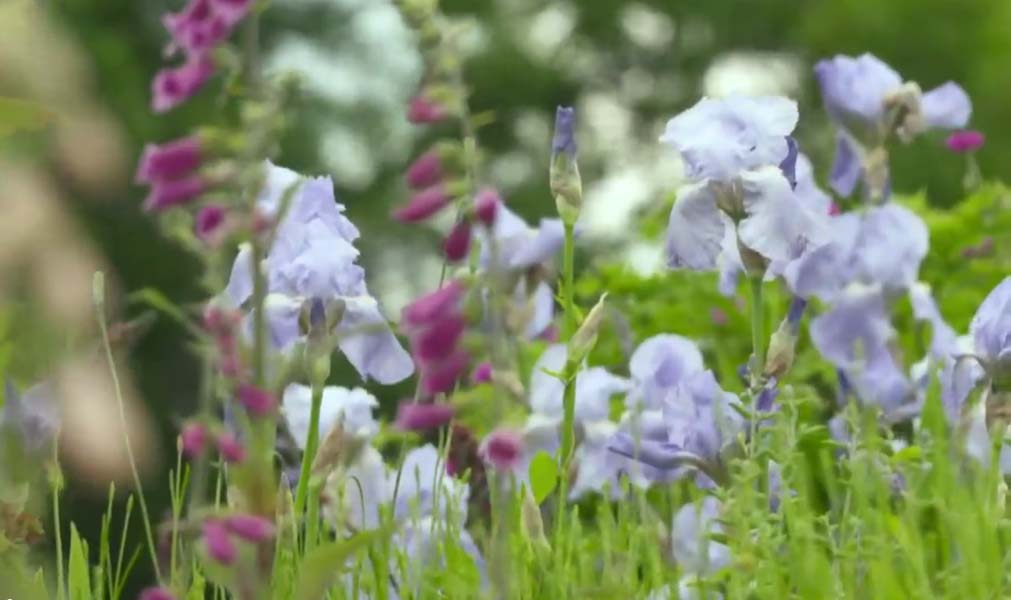 Gardeners' World BBC, screenshot, pale blue irises