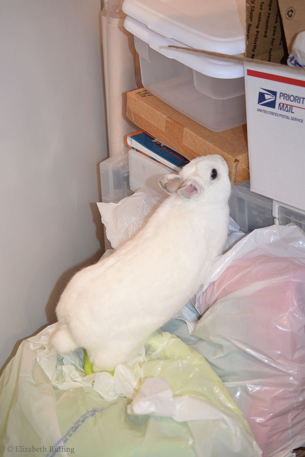 Oliver Bunny, white rabbit chewing on a cardboard box by Elizabeth Ruffing