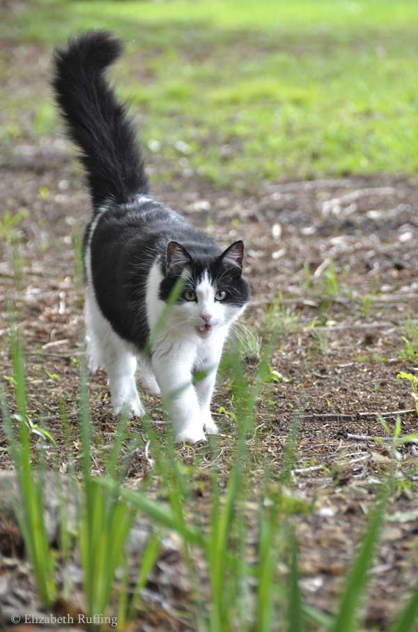 Trouble black and white kitty cat coming to see me, by Elizabeth Ruffing