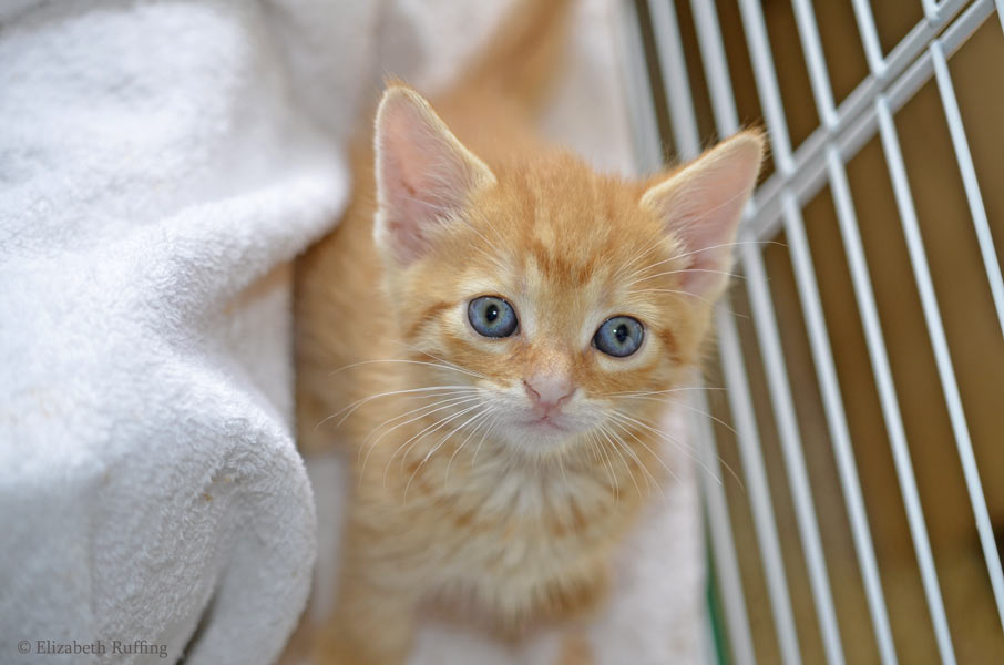 Juno, orange kitten, four weeks old by Elizabeth Ruffing