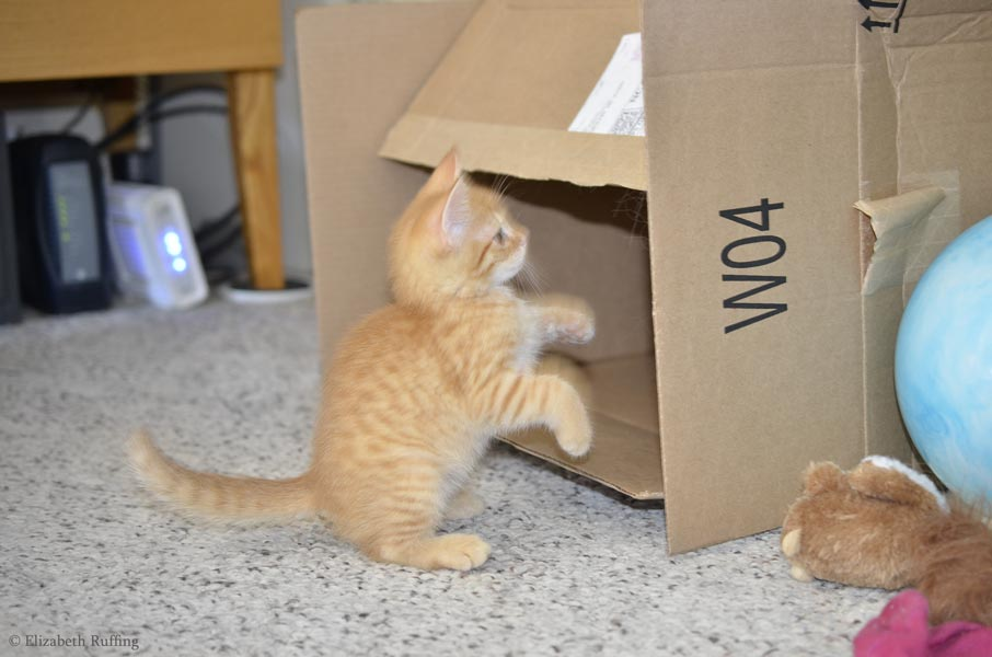 Juno, orange kitten, attacking the lettering on a box, by Elizabeth Ruffing