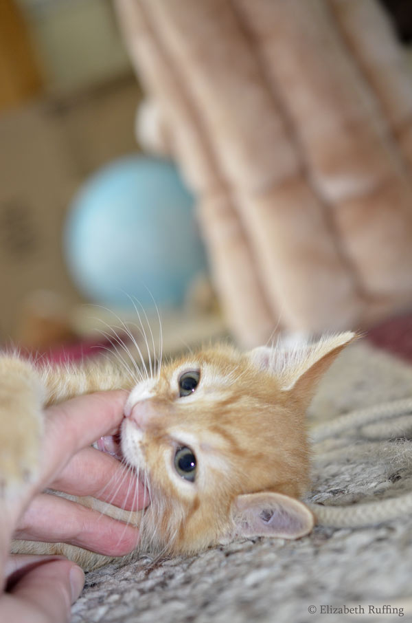 Juno, orange kitten, biting my hand, by Elizabeth Ruffing