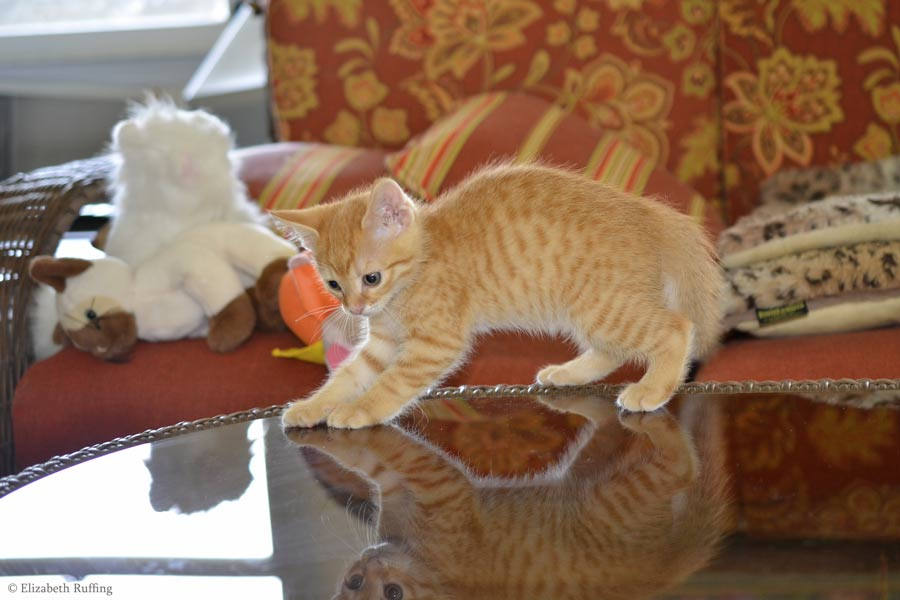 Juno, orange kitten, attacking her reflection, by Elizabeth Ruffing