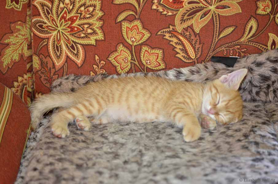 Juno, orange kitten, napping, by Elizabeth Ruffing