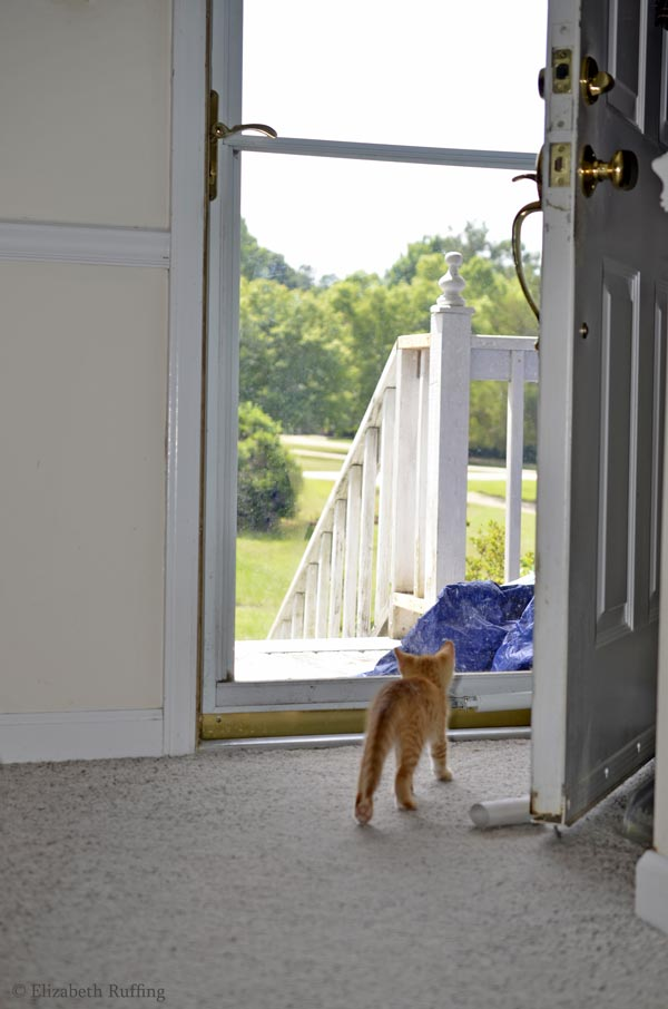 Juno, orange kitten, approaching the big world outdoors, by Elizabeth Ruffing
