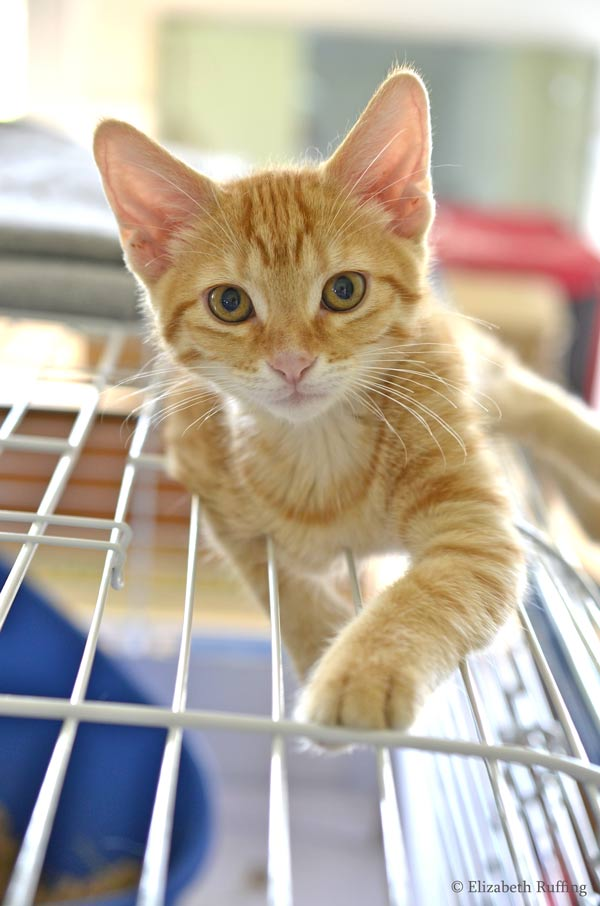 Juno, orange kitten, on top of Oliver's bunny bin, by Elizabeth Ruffing