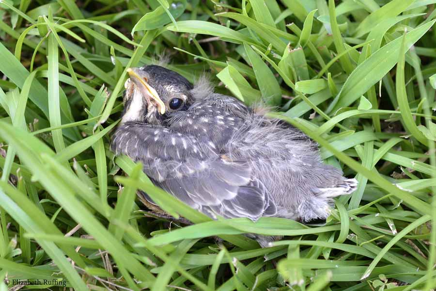 Baby robin in the grass, by Elizabeth Ruffing