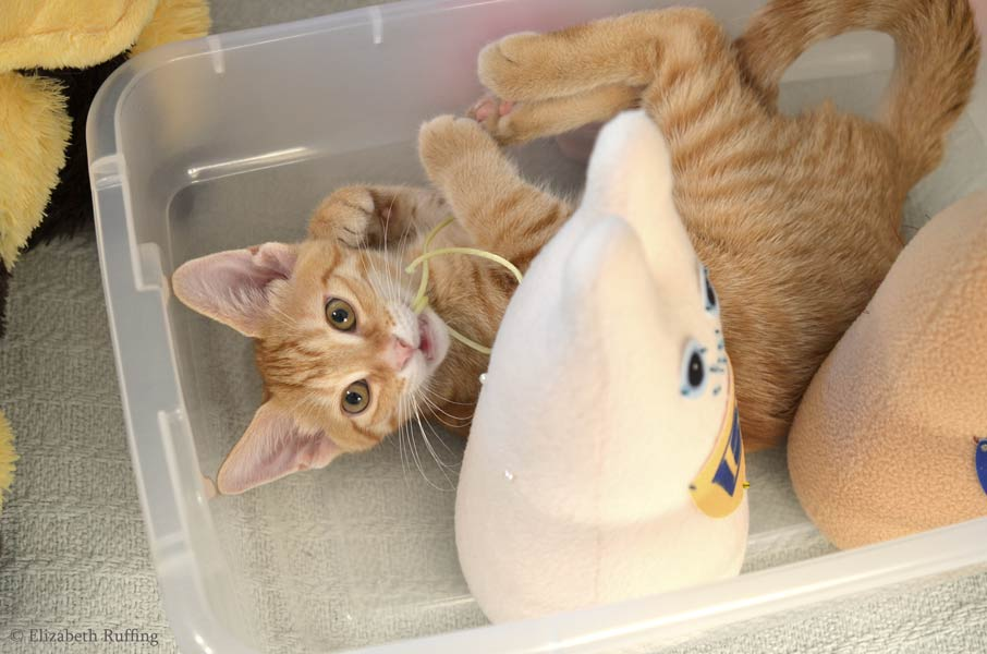 Juno the orange kitten, in my box of Wonder Bunny stuffed animals, chewing cording by Elizabeth Ruffing