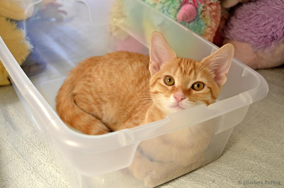 Juno the orange kitten curling up for her nap in my toy box, by Elizabeth Ruffing