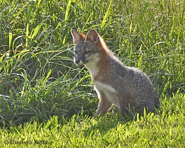 Fox, out nibbling my patch of long grass, before ducking back into the woods, by Elizabeth Ruffing