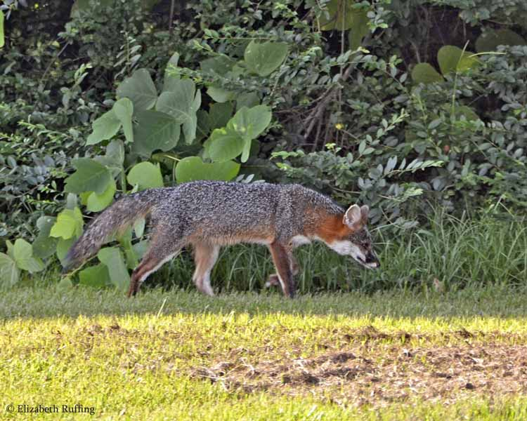 Fox, ducking back into the woods, by Elizabeth Ruffing