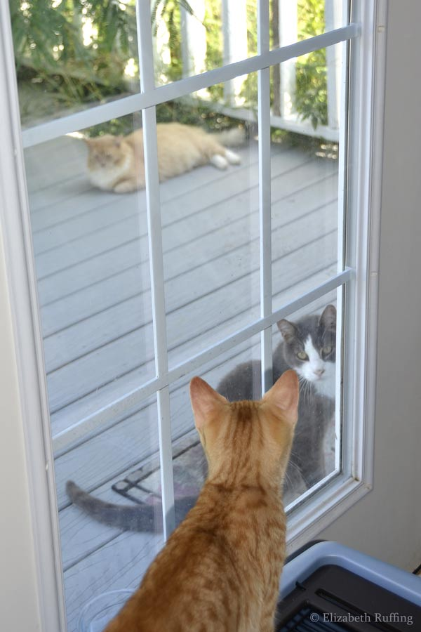 Scooter, gray and white cat at the back door, asking for food, by Elizabeth Ruffing