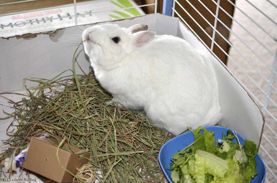 Oliver Bunny eating his timothy hay, by Elizabeth Ruffing