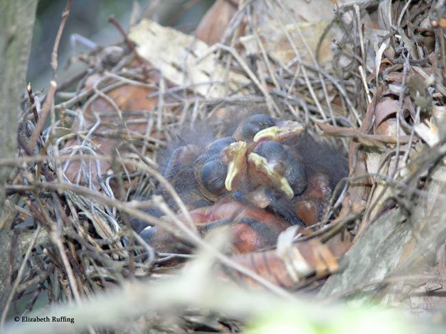 Cardinal fledglings in nest