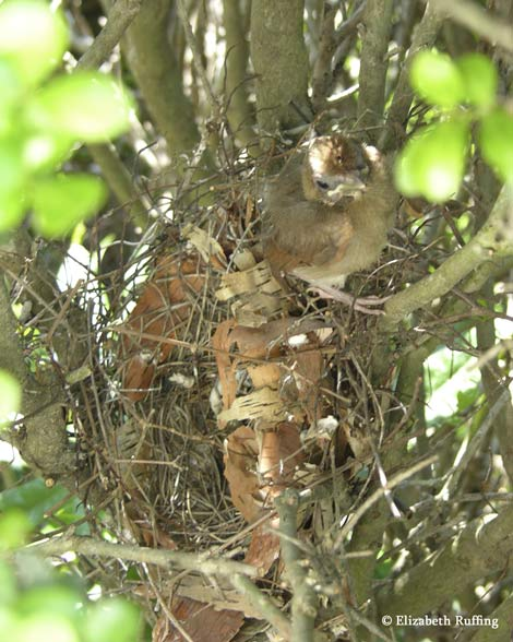 Baby cardinals leave their nest