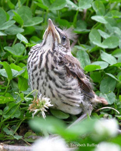 Baby brown thrasher, first day out of the nest