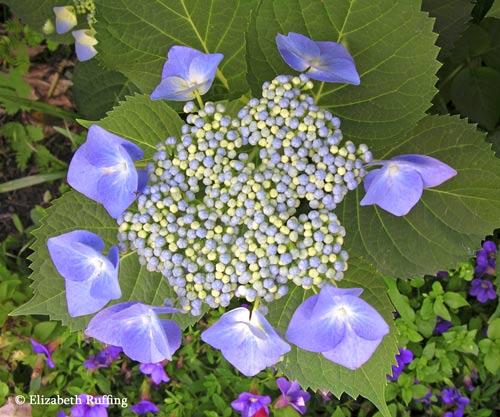 Blue lace-cap hydrangea flower