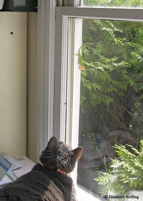 Gray and white cat staring at  his new anole friend, at the window, by Elizabeth Ruffing
