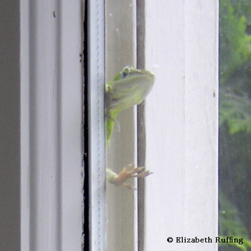 Anole peeking around window to look in the house