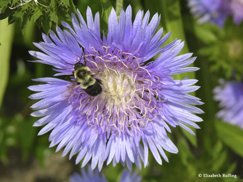 Cornflower with bee