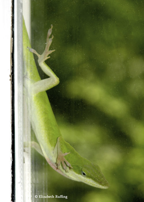 Anole looking in the window