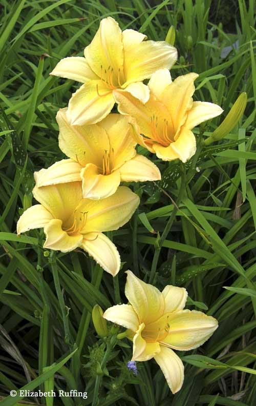 Yellow Daylilies