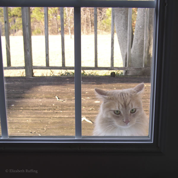 Santana the Peeping Tom Cat stares in our back door