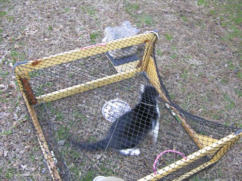 Feral cat inside the drop trap