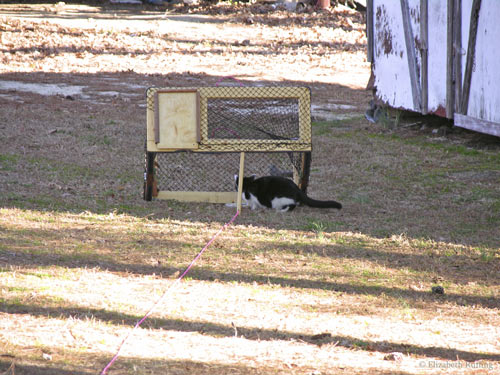 Feral cat goes inside the drop trap