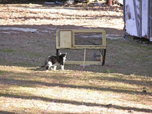 Feral cat approaches the drop trap
