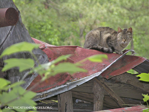 Alley Cats and Angels of NC TNR project