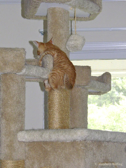 Jack the kitten, climbing the Bigfoot cat gym